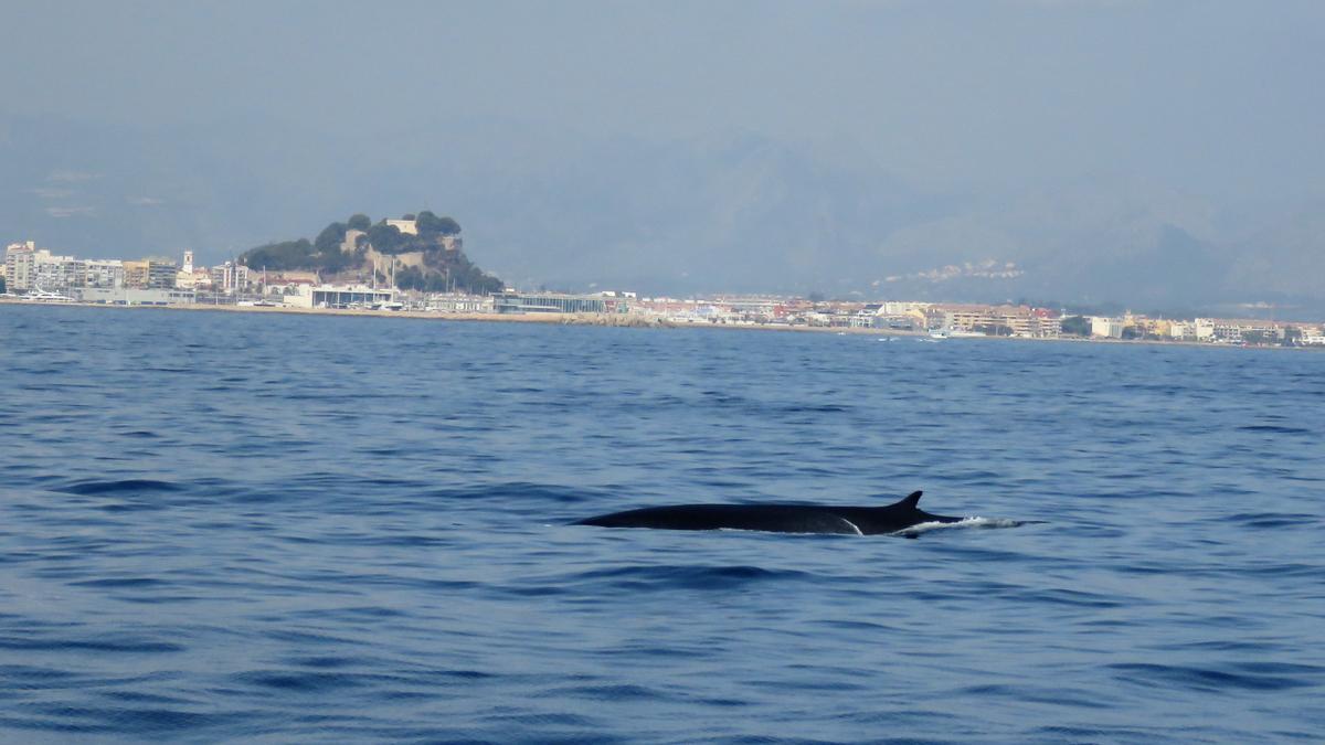 Una ballena pasa ante la costa de Dénia. Al fondo, el puerto y el castillo.