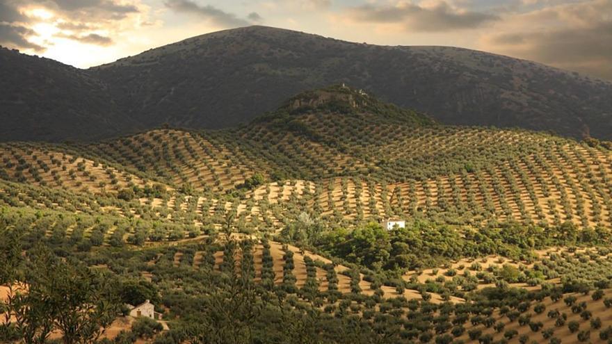 La D.O.P. de Priego realizará un tratamiento aéreo para combatir la plaga de la mosca del olivo