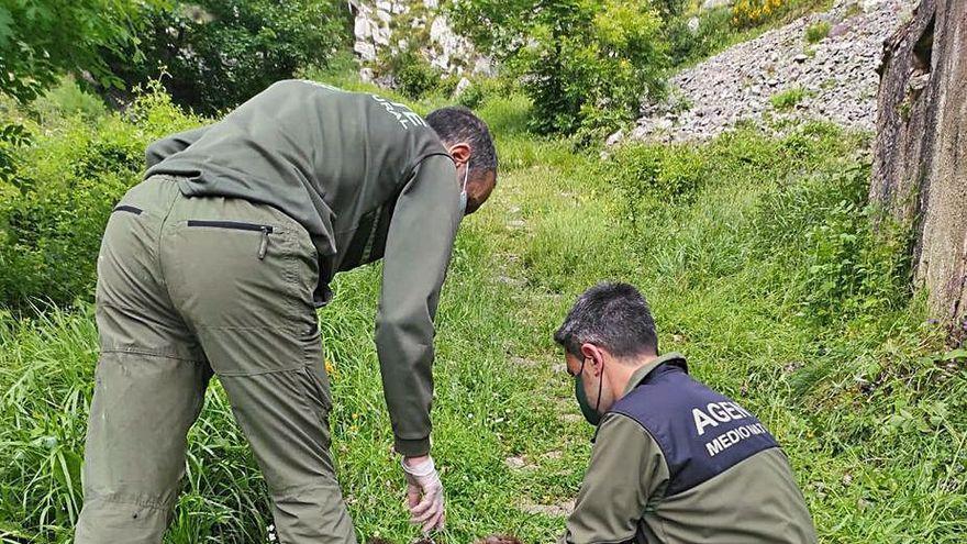 Hallan el cadáver de un ejemplar joven de oso pardo en Cangas del Narcea