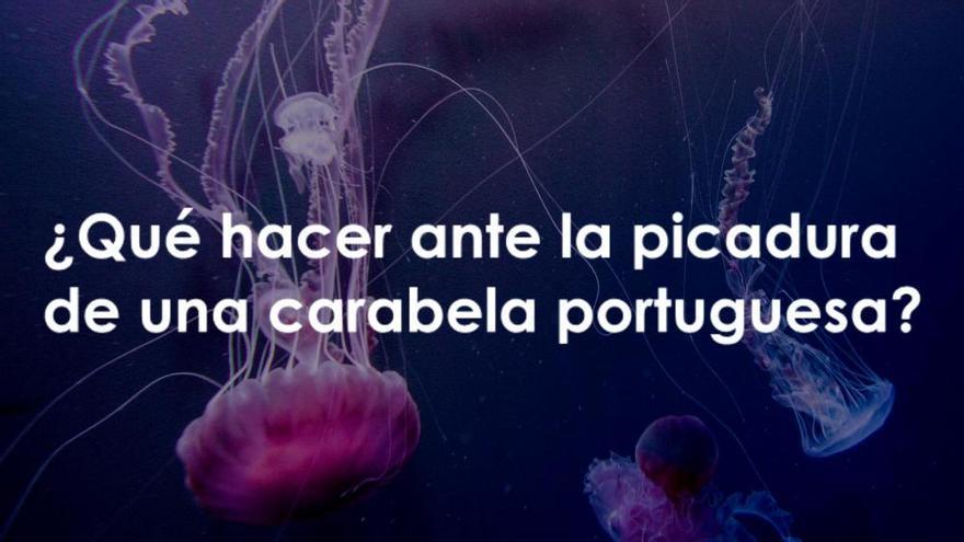 Así se produce la picadura de la carabela portuguesa