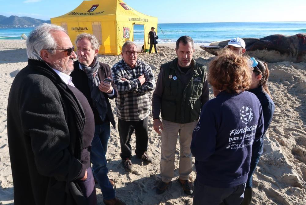 Bergung des in Cala Millor angeschwemmten Wals