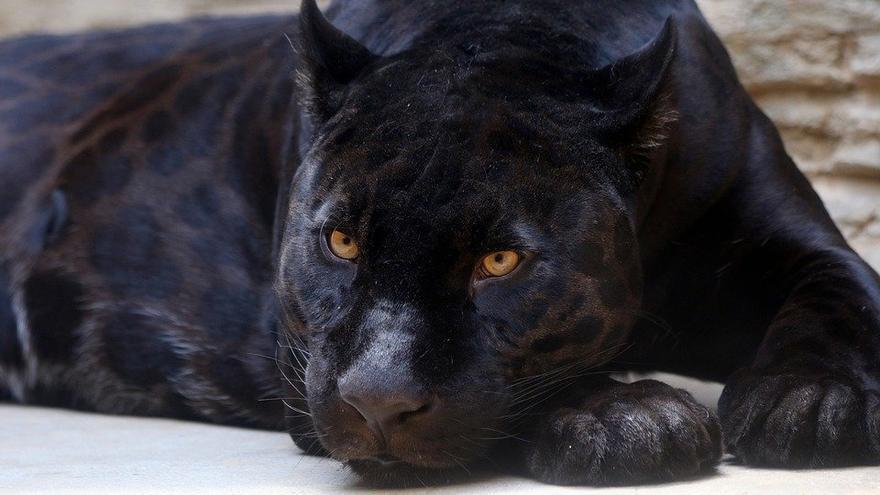 ¿Lo de Granada es una pantera o un gato?