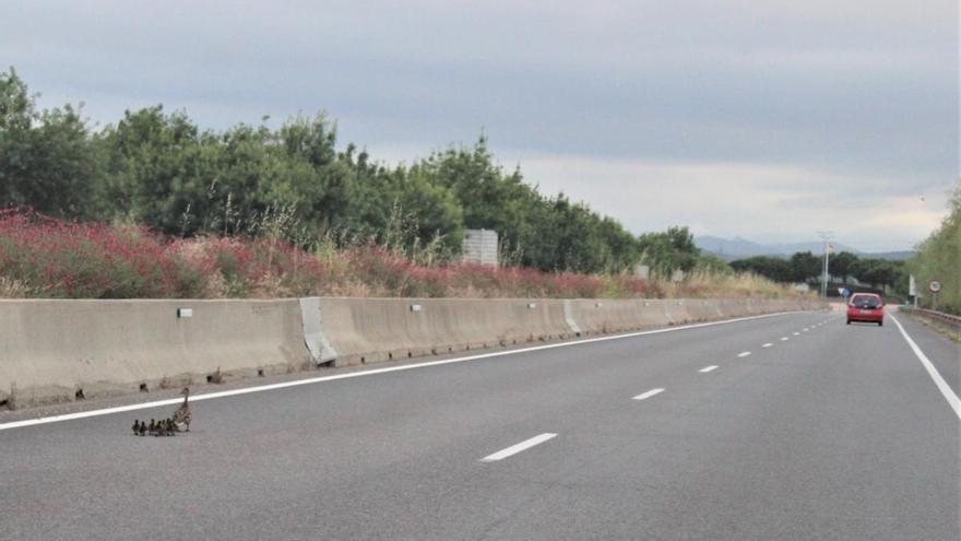 La carretera C-260 de Figueres a Roses, una «trampa» per a la fauna salvatge