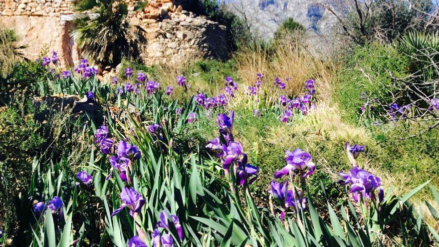 Lirios azules en el Montgó