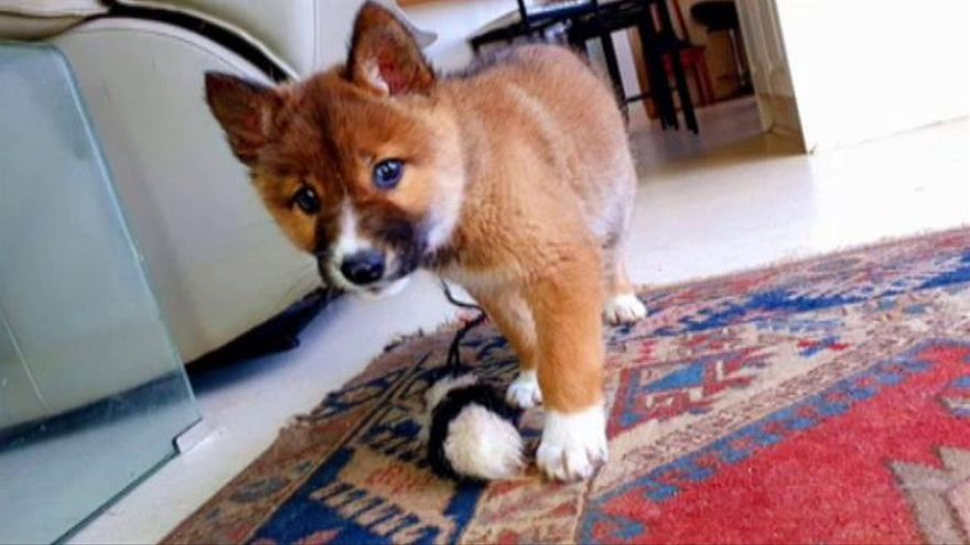 Este perro es un lobo