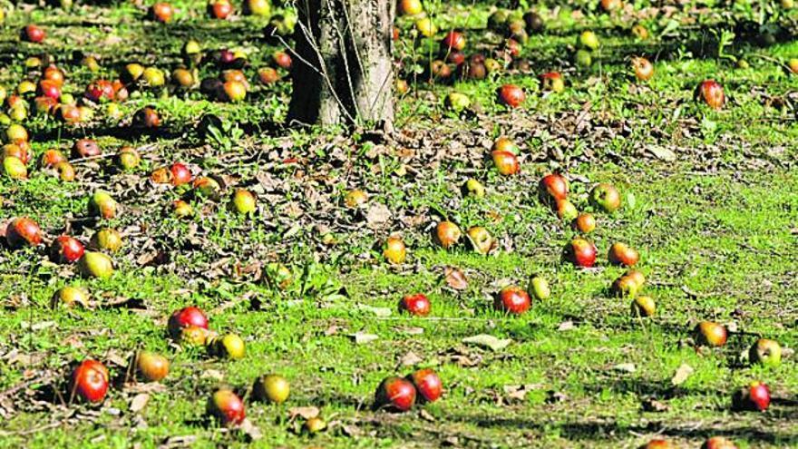 La rentabilidad de las pomaradas, clave en las elecciones al Consejo Regulador de la Sidra