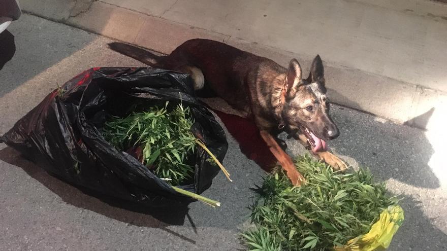 Identifican a cuatro jóvenes que habían robado plantas de marihuana en una vivienda en Muro