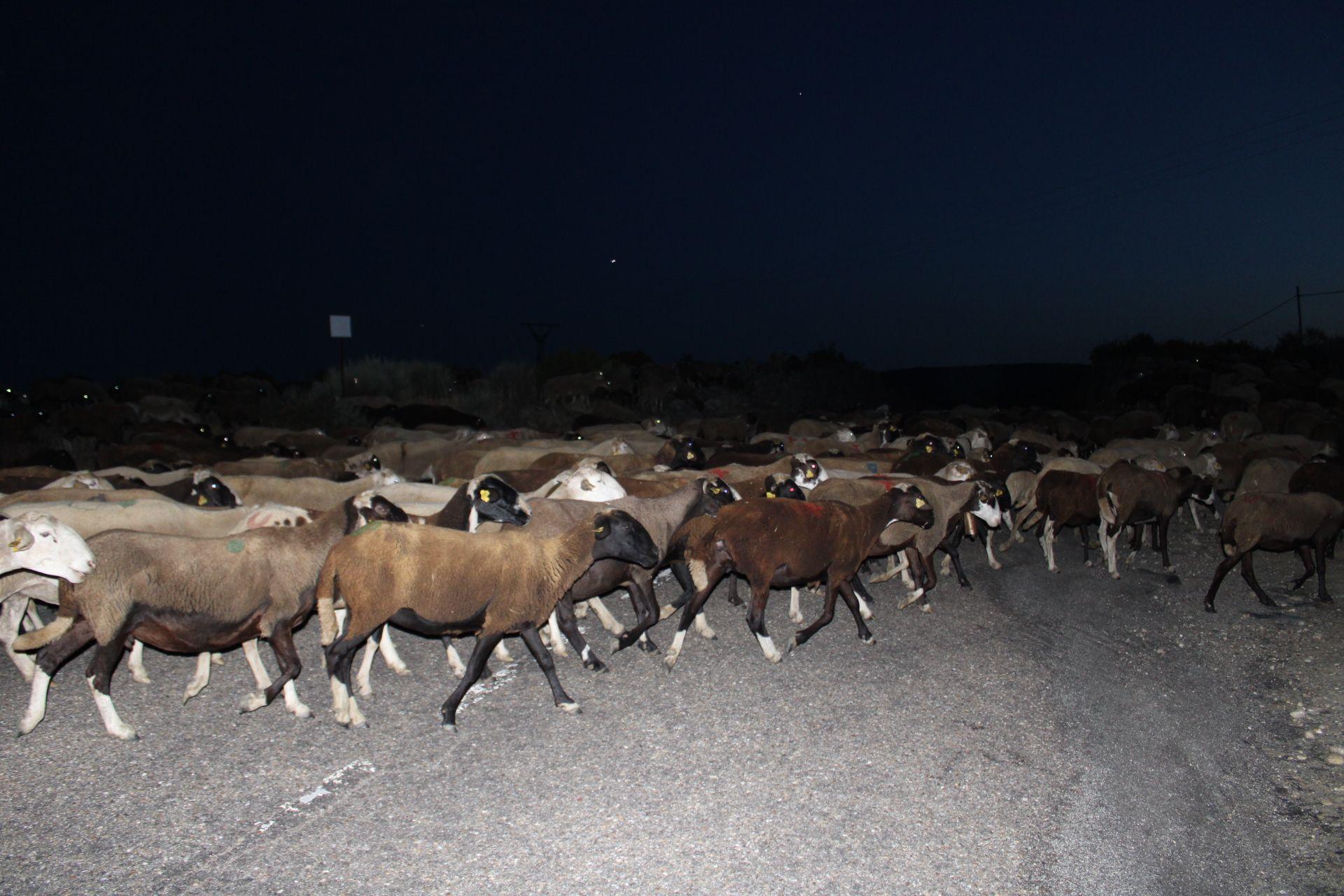 Las ovejas cruzan la carretera de Ungilde.