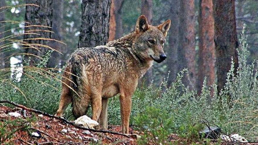 Lobo en un pinar de La Culebra.
