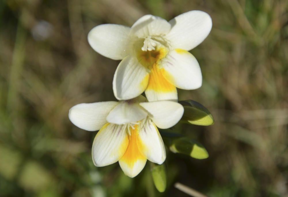 Freesia blanca. Bonica planta herbàcia originària de Sud-àfrica