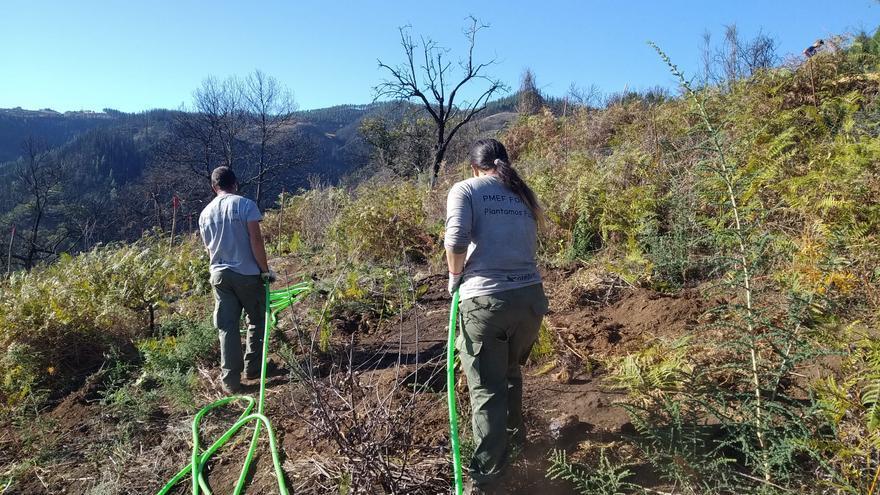 Foresta emplea a 51 personas para reforestar Gran Canaria con 3.800 árboles