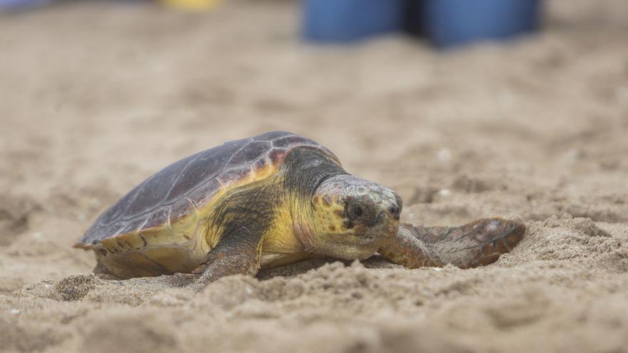 El Oceanogràfic libera al mar dos tortugas en El Parador de El Saler