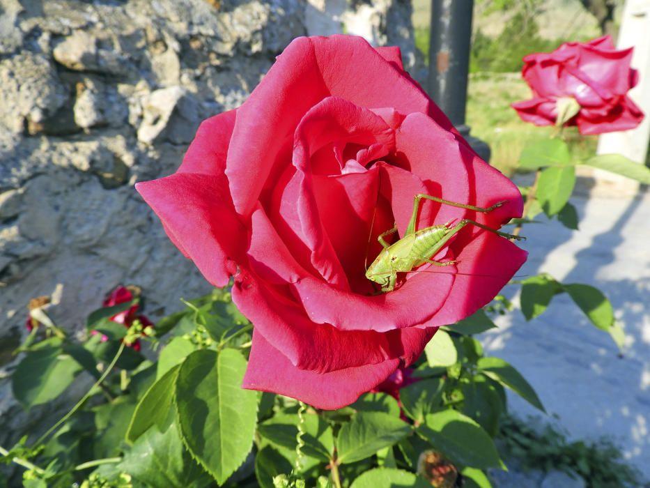 Llagosta verda. Per les seves llargues antenes, sembla ser una llagosta verda (Tettigonia viridissima), la qual ha trobat un habitacle d'allò més bonic, una rosa vermella de jardí, que és el símbol de la dinastia reial anglesa.