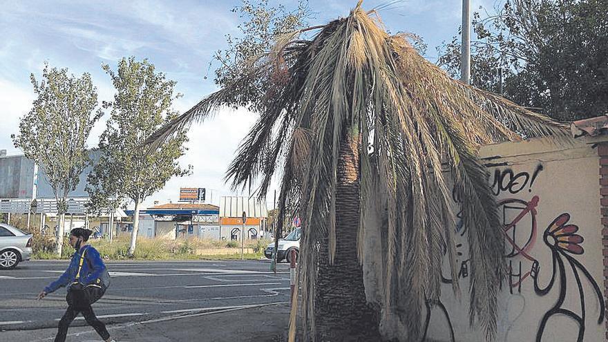 Critican que Cort se desentiende del picudo rojo de dos palmeras