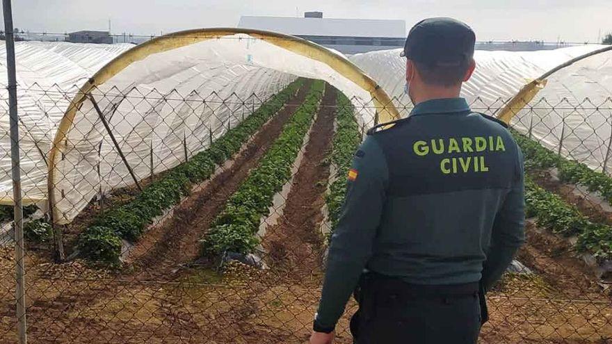 200 Kilo Erdbeeren von Feldern in der Gemeinde Sa Pobla geklaut