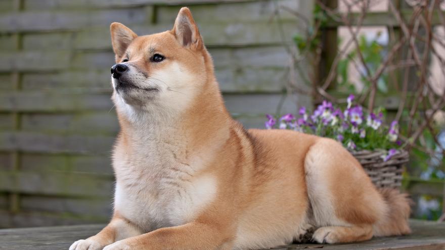 ¿Qué es el Shiba Inu? El perro hecho criptomoneda que se ha hecho viral