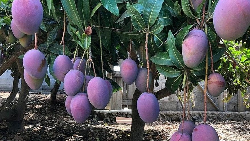 Compran 6.000 kilos de manga roja de La Palma para evitar un desperdicio alimentario