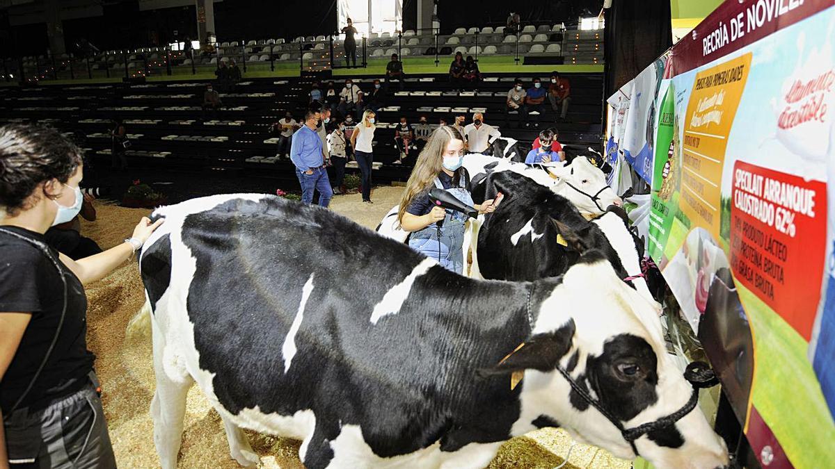 Preparativos de algunos de los animales que entraron ayer en el Lalín Arena.     // BERNABÉ/JAVIER LALÍN
