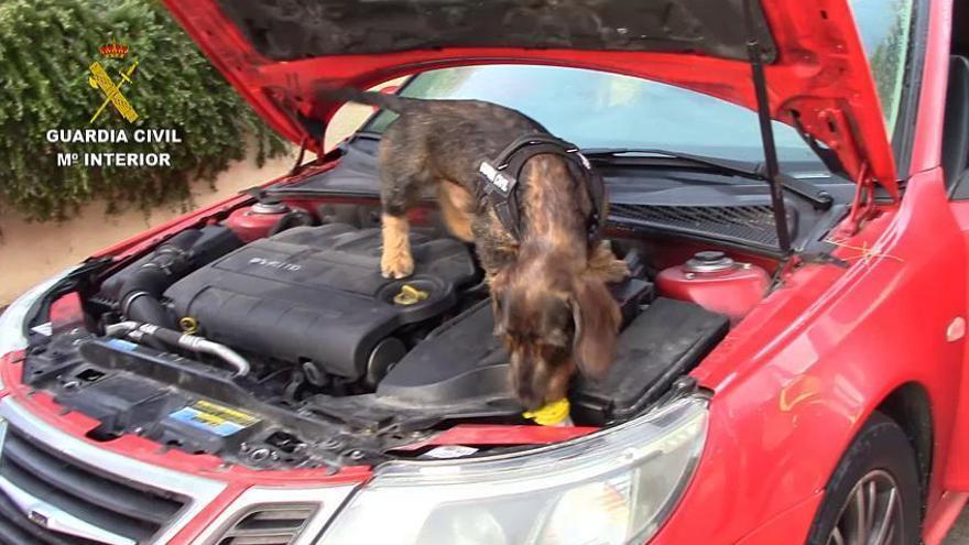Drogenrazzia bei Cala Ratjada: So wird der Spürhund der Guardia Civil fündig