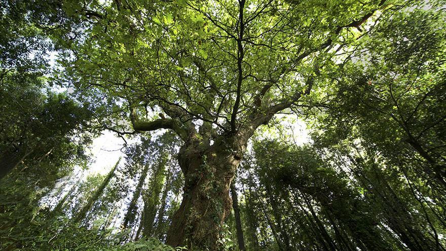 Un 'carballo' gallego, aspirante a 'árbol del año' en Europa
