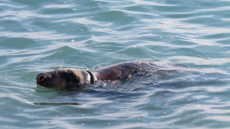La foca gris se deja ver en la cala de la Barraca de Xàbia