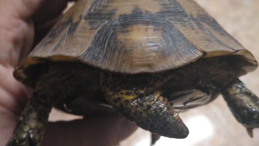 Rescatan a una tortuga protegida en Canet