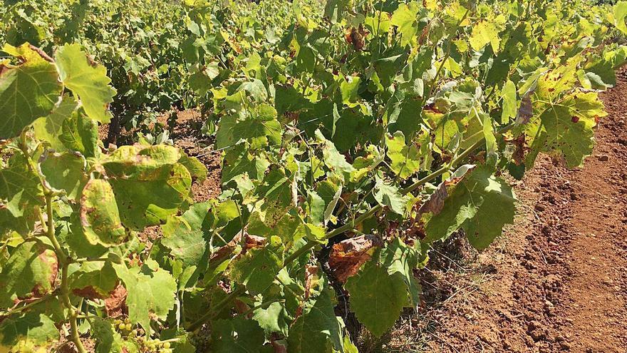 El hongo del mildiu reducirá hasta un 20% de la producción de uva