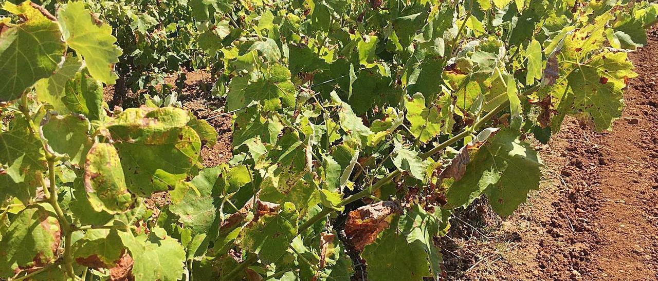 Un campo vitícola de Turís, afectado por el hongo mildiu, que daña las hojas y la uva.   RAFA PUCHADES