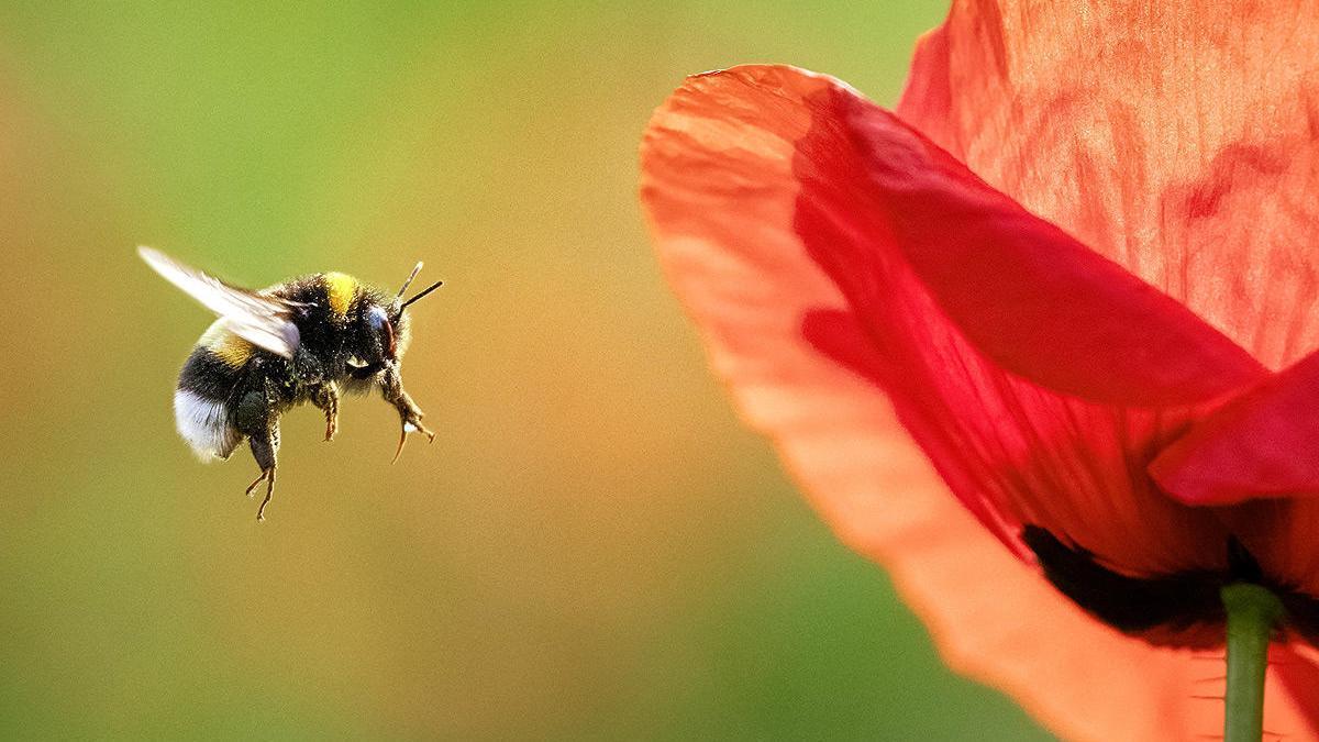 Los abejorros miran hacia atrás repetidamente para recordar las flores que eligen.