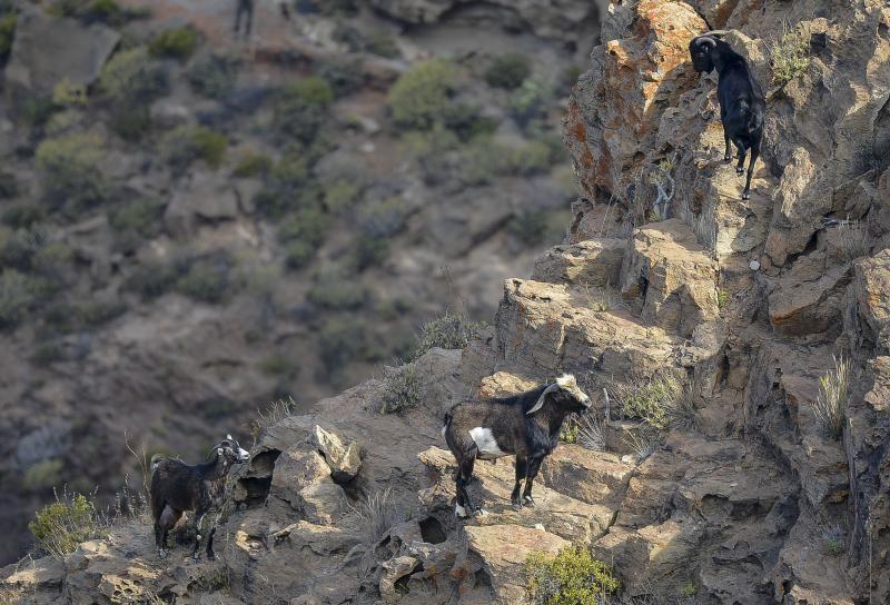 26/05/2018 TASARTICO, ALDEA DE SAN NICOLAS.  Apañada de cabras en la zona de Güi Güi, organizada por el Cabildo de Gran Canaria y  con la colaboración de distintos colectivos. FOTO: J. PÉREZ CURBELO    26/05/2018   Fotógrafo: José Pérez Curbelo