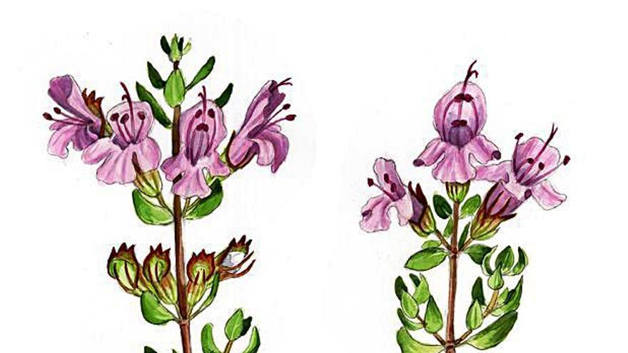 Alfàbega (Ocimum basilicum)