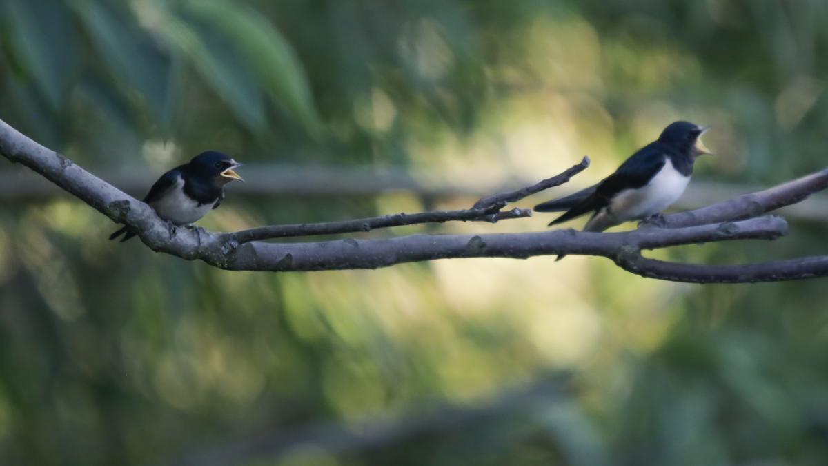 Impresionante imagen de las crías de golondrinas que reclaman la atención de la madre.