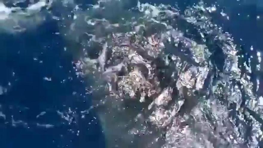 Un tiburón ballena sorprende a unos pescadores en aguas de La Gomera