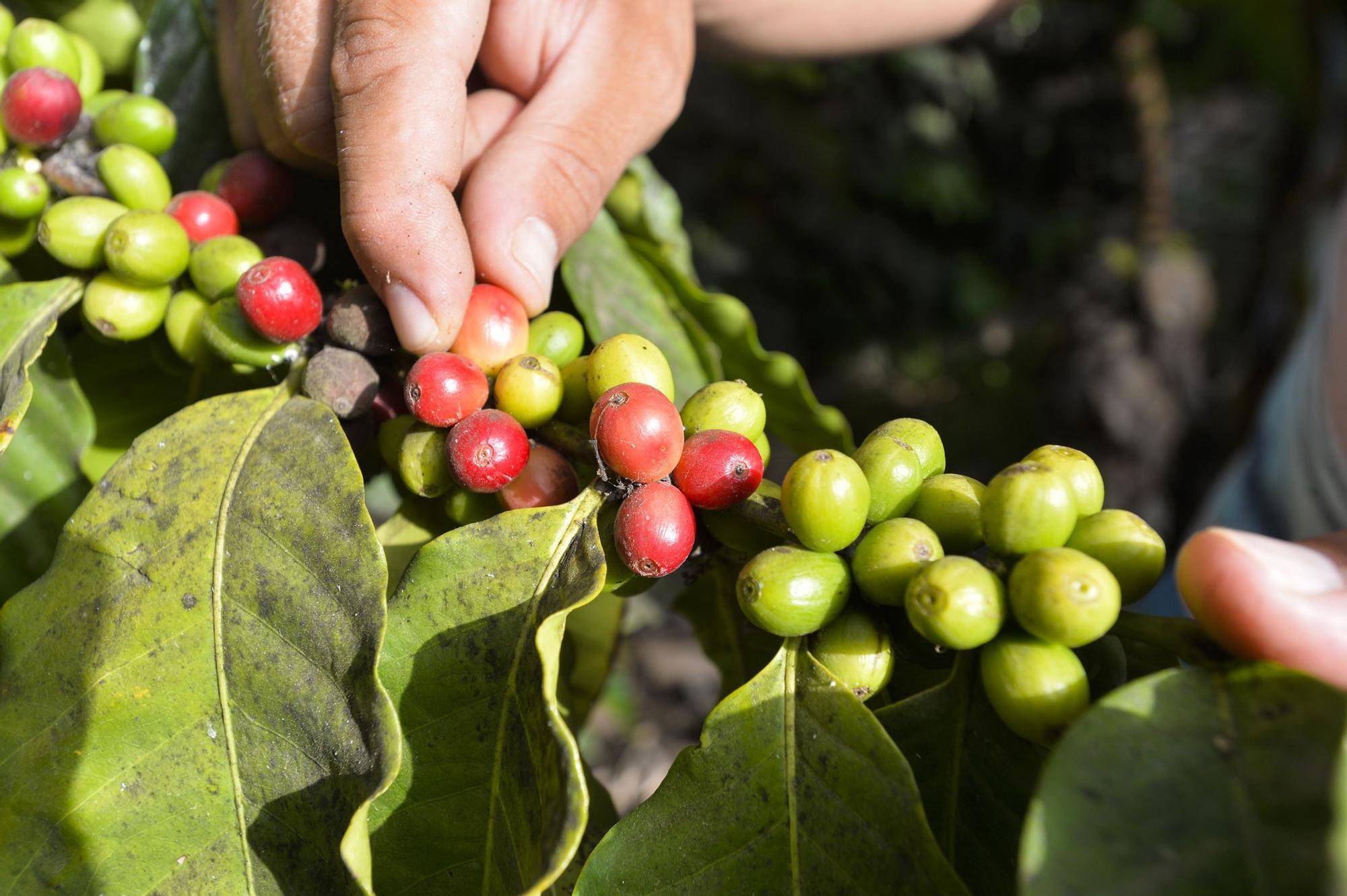Plantación de café de la finca El Calvario, en Guía