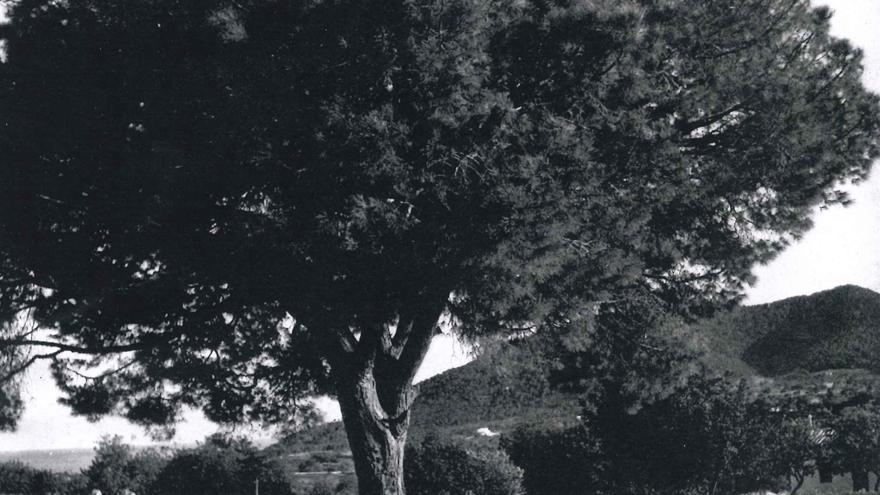Tala y aprovechamiento de los pinos