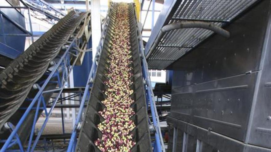 Las lluvias y los precios animan una cosecha irregular de la aceituna