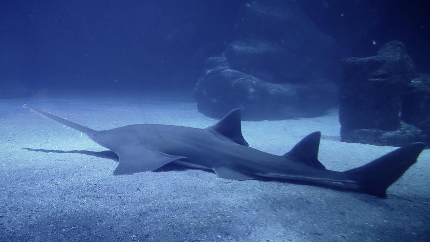 Un gran pez sierra de casi cuatro metros y 170 kilos, nuevo inquilino del Oceanogràfic