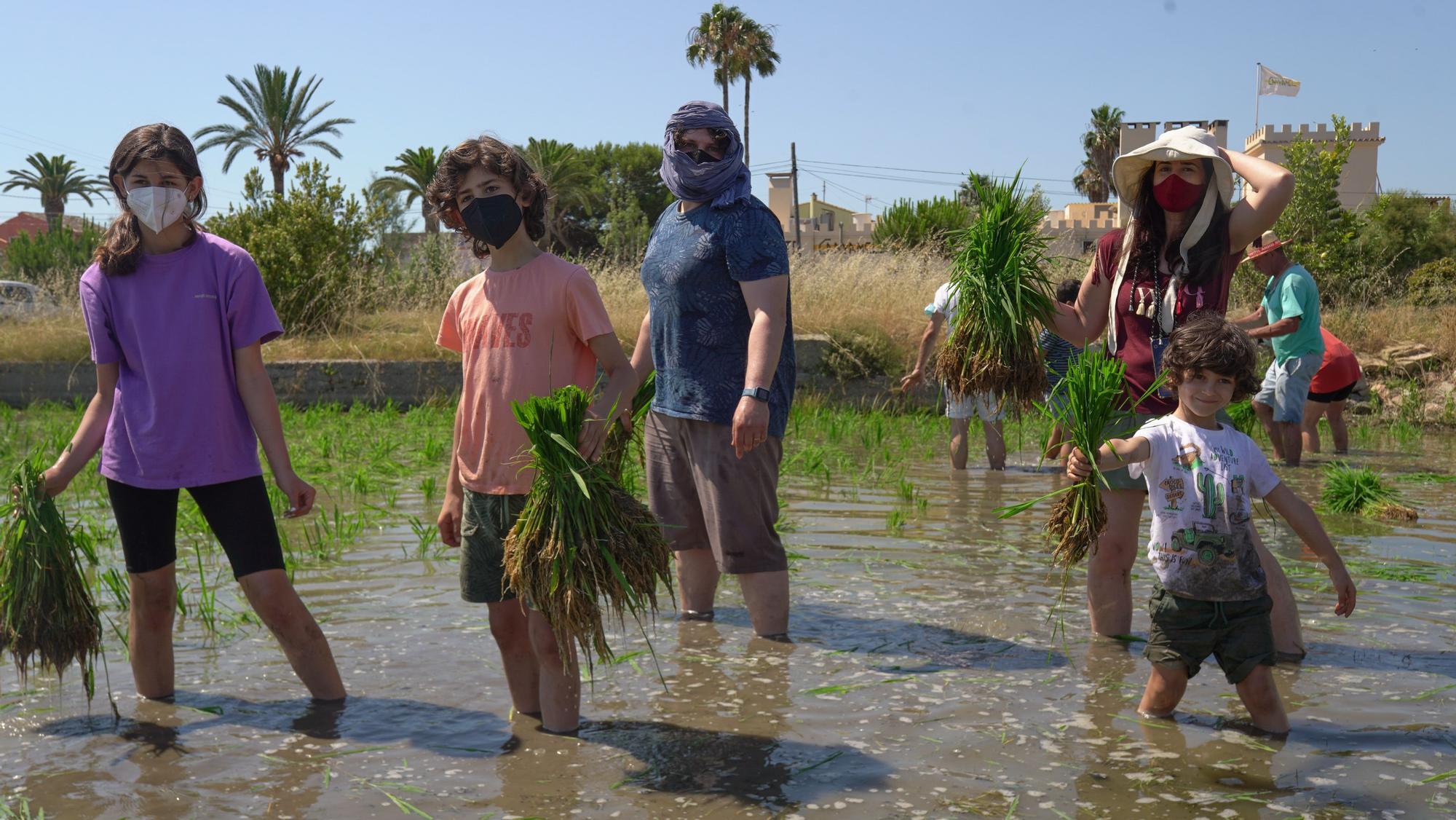 Turismo arrocero: así se puede conocer cómo se planta el arroz de l'Albufera