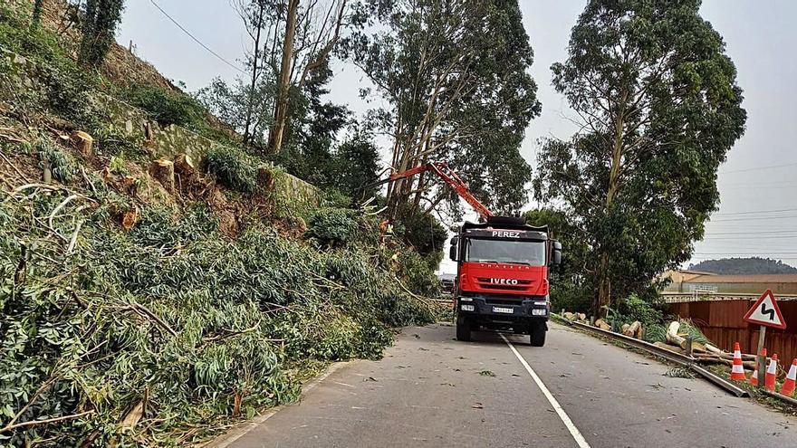 Talan eucaliptos junto a una carretera de Carreño por motivos de seguridad