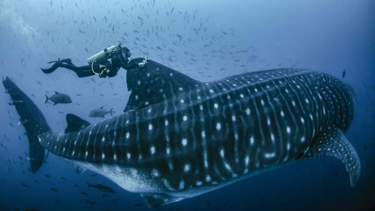 Marcan a diez tiburones ballena para seguirles el rastro