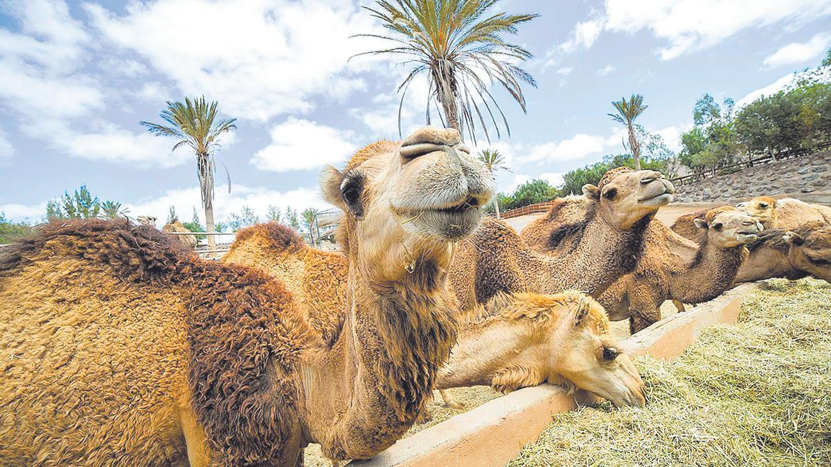 Camellos canarios en Fuerteventura.