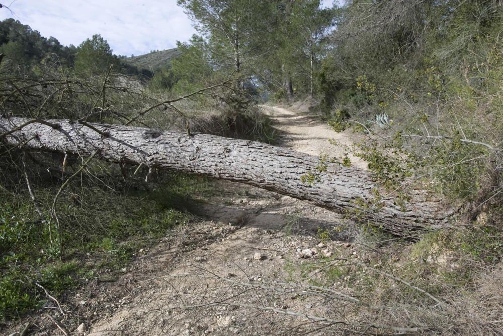 Árboles abatidos por el vendaval en el paraje de la Cova Negra de Xàtiva