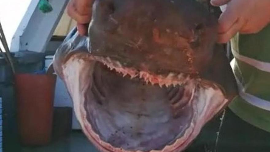 VÍDEO | Capturan un tiburón de más de 90 kilos en aguas de Castelló