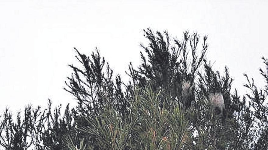 La procesionaria se ceba con  los pinos que han rebrotado en el Montgó