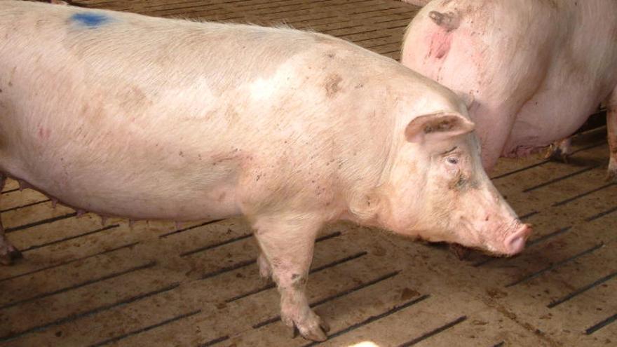 La Xina cria porcs gegants de la mida d'óssos polars davant l'escassetat de carn