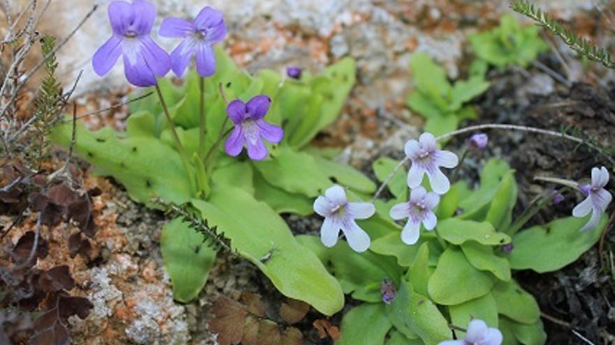 Investigadores de la UA identifican dos especies inéditas de plantas carnívoras de alta montaña en la Península Ibérica