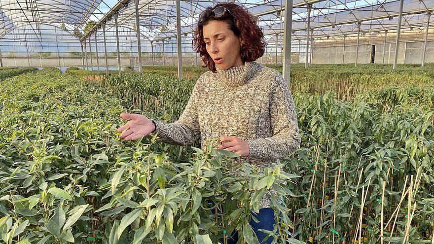 El algarrobo arraiga  para sustituir el fallido             cultivo de la fruta estival
