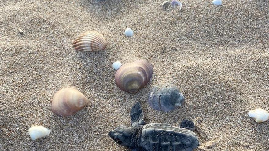 Suelta de las primeras 23 tortugas Caretta en la playa Cap Blanc de Cullera