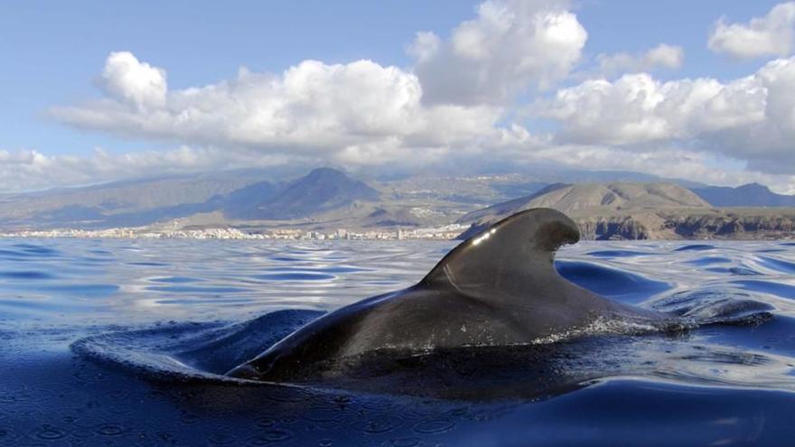 Canarias, entre los diez mejores lugares del mundo para avistar ballenas