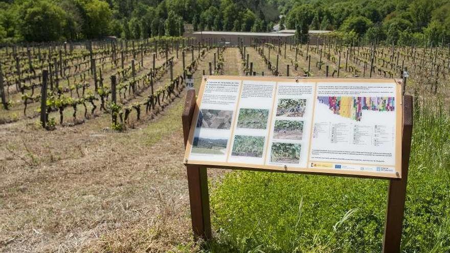Galicia recupera uvas autóctonas